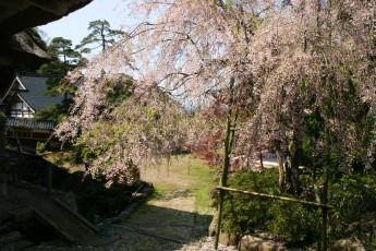阿岸小菊桜